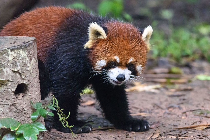 Animal Animal Themes Mammal One Animal Red Panda Animal Wildlife Animals In The Wild Focus On Foreground No People Vertebrate Nature Day Field Land Outdoors Red Panda Endangered Species