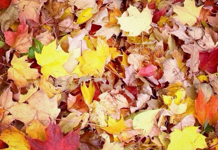 Maple leaves on ground
