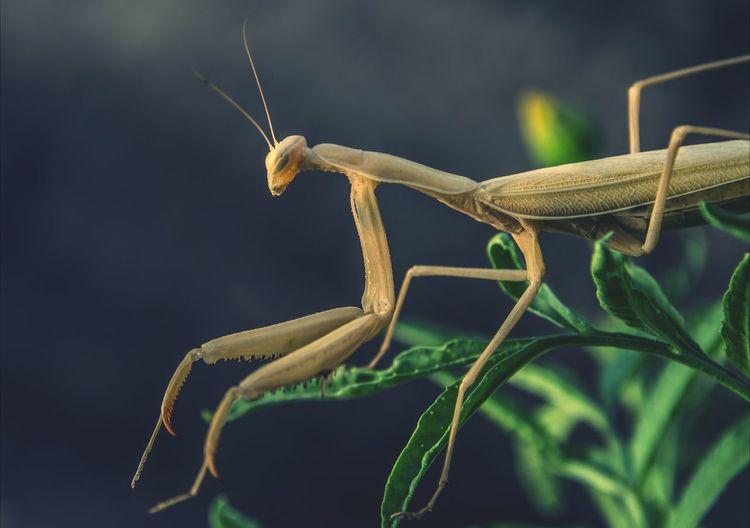 Close Up Of Preying Mantis