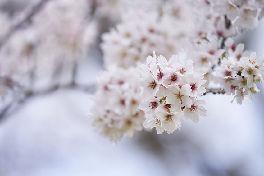 Beauty In Nature Blossom Branch Bunch Of Flowers Cherry Blossom Cherry Tree Close-up Day Flower Flower Head Flowering Plant Fragility Freshness Growth Nature No People Outdoors Petal Pink Color Plant Selective Focus Springtime Tree