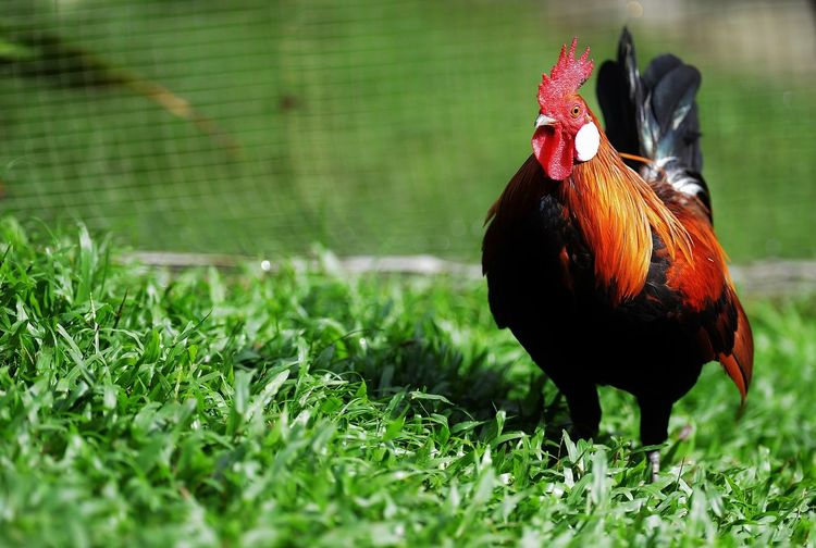 Close-up of rooster on grass