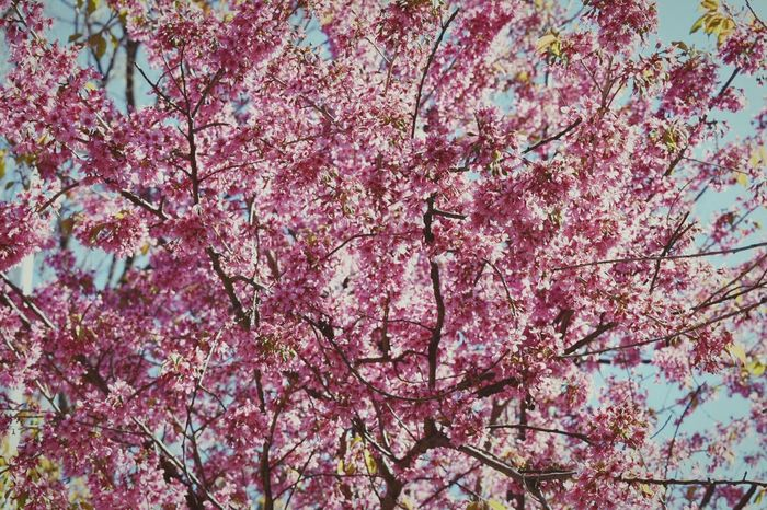 Tree Branch Blossom Flower Low Angle View Beauty In Nature Springtime Growth Pink Color Nature Fragility No People Outdoors Freshness Full Frame Backgrounds Day Sky Plum Blossom Scenics