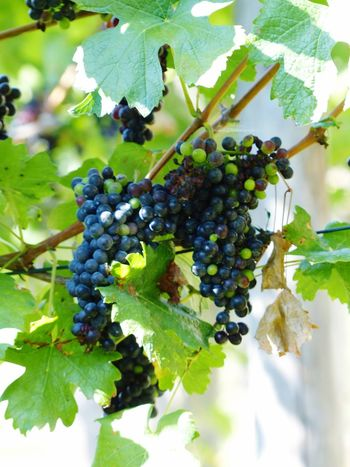 Fruit Grape Bunch Agriculture Winemaking Close-up Vineyard Red Grape Growth Nature Green Color Weintrauben Trauben Grapes Grapes Nature Photography Uva Photography Fruits EyeEm Best Shots Leaf Vine No People Freshness Outdoors Day