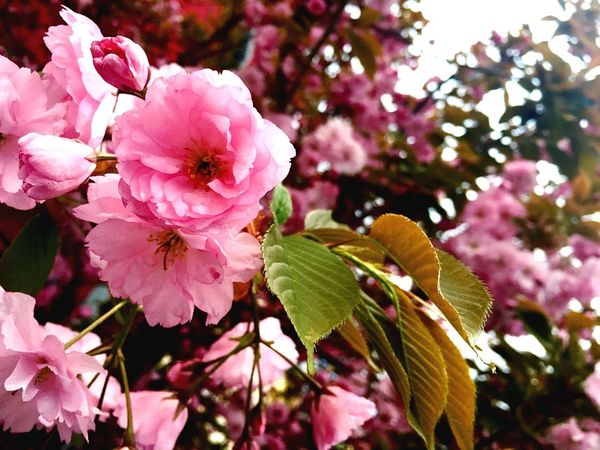 🌸 Flower Beauty In Nature Pink Color Petal Growth Close-up No People Fragility