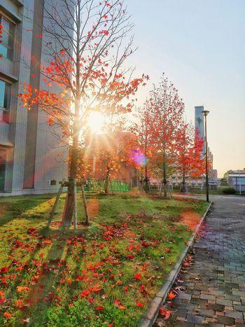 落陽 落葉 並木道 並木 夕暮れ 夕陽 木 落ち葉 枯れ葉 紅葉 モミジバフウ アメリカフウ Sunset Colored Leaves Sky Maple Leaf Maple Tree Trees Tree Sunlight Nature Sunbeam 影 Shadows & Lights Shadow