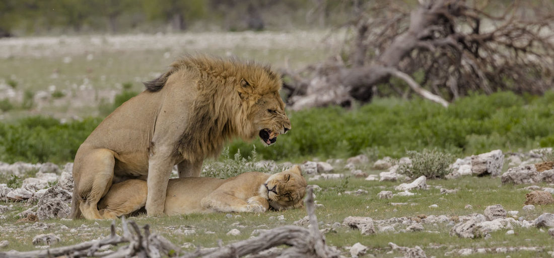 Mating Lions at a waterhole in Etosha, a National Park in Northern Namibia Holidays Lion Namibia National Park Travel Animal Themes Animal Wildlife Etosha Etosha National Park Feline Lions Mammal Mating Lions Southern Africa Vacation