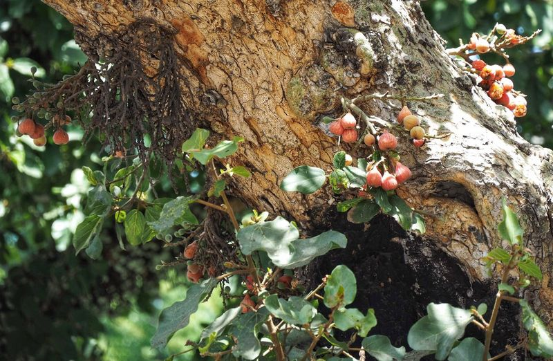Close-up of berry growing on tree trunk