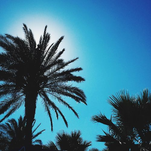 Palm Tree Low Angle View Tree Clear Sky Blue Silhouette Sky Growth Palm Frond Nature Outdoors Day Beauty In Nature No People