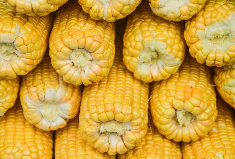 stacked up yellow corns Yellow Corn Corns Whole Corn Stacked Up Texture Fullframe Background Health And Nutrition Agriculture Produce Harvest Abundance Harvest Season North Sumatra In A Row Corn Texture Vegetable Backgrounds Food And Drink Market Full Frame Food Healthy Eating Freshness Large Group Of Objects Retail