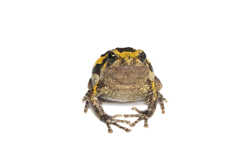 Bulldog on white background Amphibian Animal Animal Body Part Animal Eye Animal Themes Animal Wildlife Animals In The Wild Arachnid Close-up Copy Space Cut Out Frog Front View Indoors  Marine Nature No People One Animal Reptile Studio Shot Vertebrate White Background