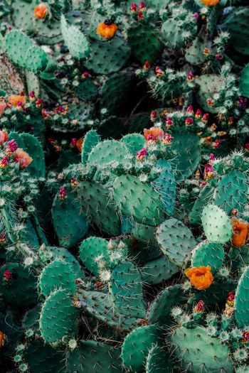 Growth Succulent Plant Plant Cactus Green Color No People Nature Full Frame Beauty In Nature Day Flower Thorn Flowering Plant High Angle View Close-up Spiked Freshness Outdoors Prickly Pear Cactus Backgrounds Spiky