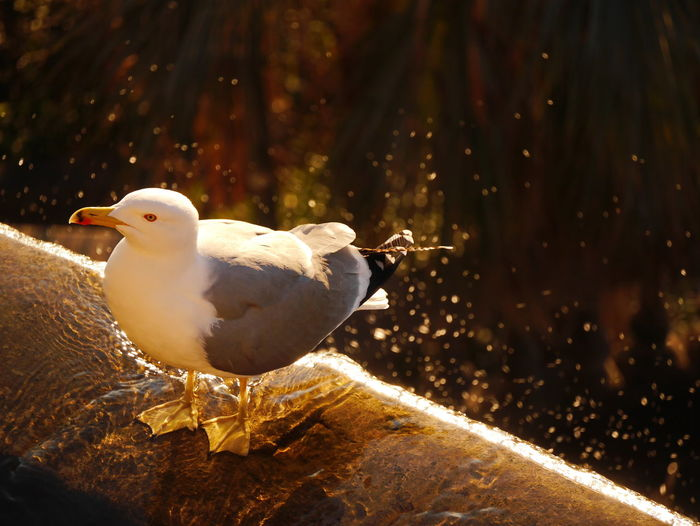Close-up of seagull perching on water