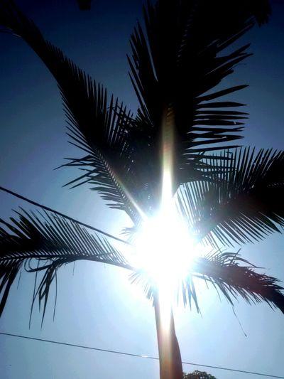Sun Sunbright Tree Palm Outdoor