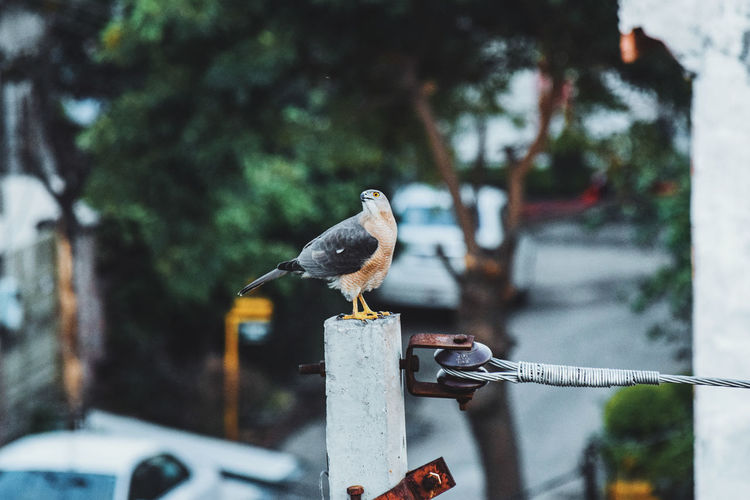 On hunt InMakin! Hawk Hunt Bird Perching No People Animal Themes Beauty In Nature Outdoors Perspective Taking Photos EyeEm Gallery EyeEm Best Shots From Where I Stand My Unique Style Eye4photography  Capturing The Moment Adapted To The City