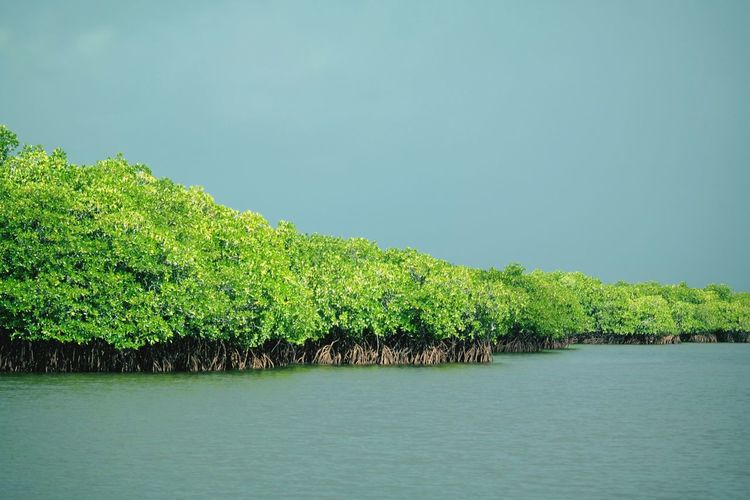 Mangroves on the way to Sugba Lagoon. Lush Lush Foliage Lush - Description Jungle Waterway Mangroves Mangrove Forest Mangrove Lagoon Water Tree Lake Sky Green Color Grass Lush - Description Lush Foliage Plant Life Calm Greenery Standing Water Topiary Growing The Great Outdoors - 2018 EyeEm Awards
