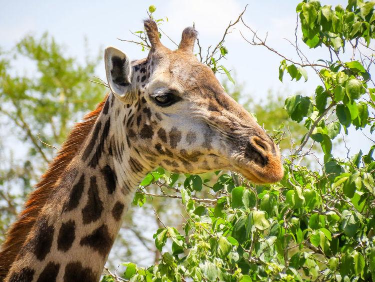 African Safari Animal Themes Animal Wildlife Animals In The Wild Animals In The Wild EyeEm Animal Lover Giraffa Giraffe Safari Adventure Safari Animals Tanzania Tarangire Wildlife & Nature Wildlife And Nature Wildlife Photography Wildlife Photos