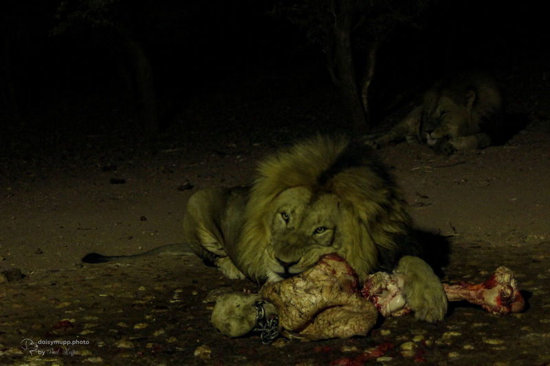 Lion eating at