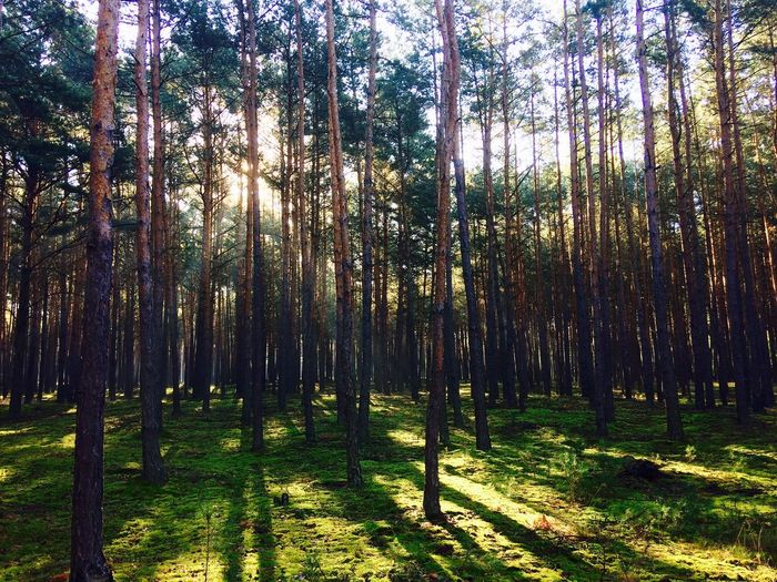 Amazing Lights in the Forest at Summer Morning . WoodLand Tree Landscape Nature Outdoors Poland IPhoneography