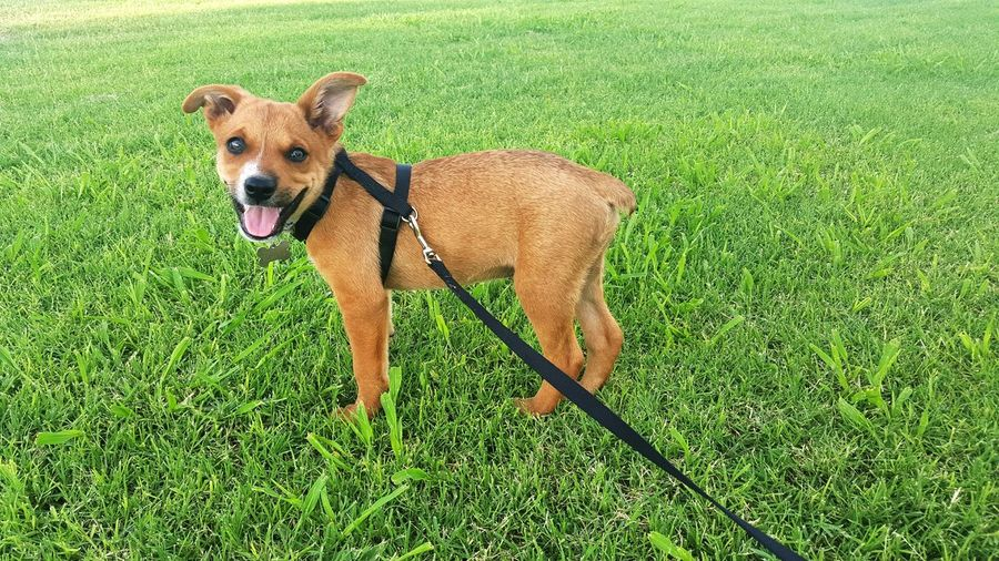 Grass is his bestfriend, a happy puppy means a happy momma Weekend Puppy Red Heeler Mix Rottweiler Mix Enjoying Life Sunday Funday