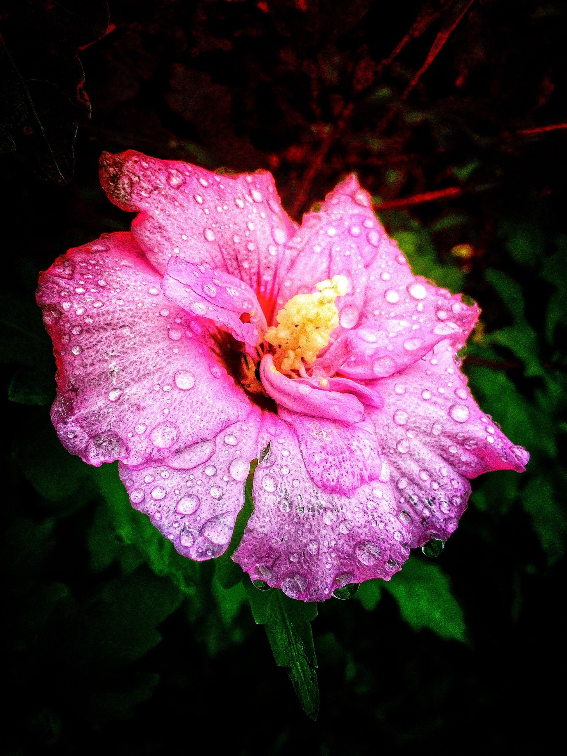 flower, petal, freshness, flower head, fragility, growth, close-up, beauty in nature, single flower, pink color, nature, blooming, drop, in bloom, plant, wet, purple, focus on foreground, stamen, no people