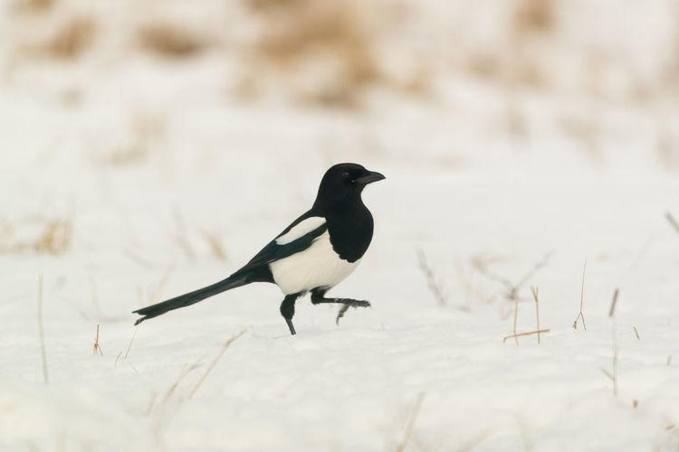 Magpie Magpie Bird Pica Pica Snow Winter