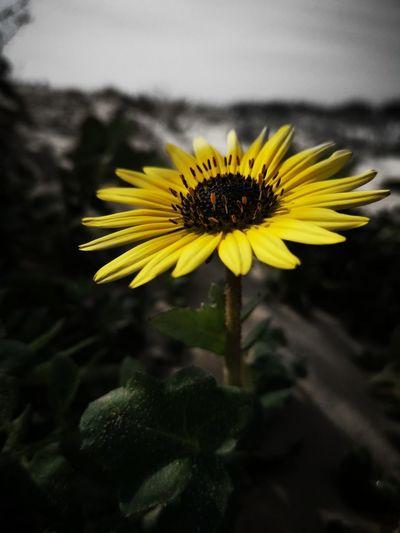 Floreciente