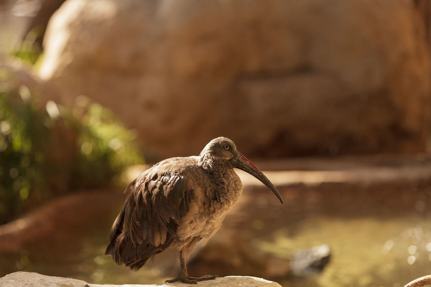 Hadada Ibis, Bostrychia hagedash, bird is found in Sub-Saharan Africa. Africa Animal Animal Wildlife Animals In The Wild Beauty In Nature Bird Birds Bostrychia Hagedash Close-up Day Full Length Hadada Ibis Horizontal Nature No People One Animal Outdoors Perching Subsahara