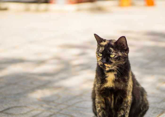 Beautiful Cute Cat EyeEm Cats Lover Ginger Cat Kitty Meow Moggy Adorable Animal Themes Cat Thai Day Domestic Animals Domestic Cat EyeEm Cats Feline Gray Kitten Looking Mammal No People Pets Pussycat Scratching Three Colors Tiger