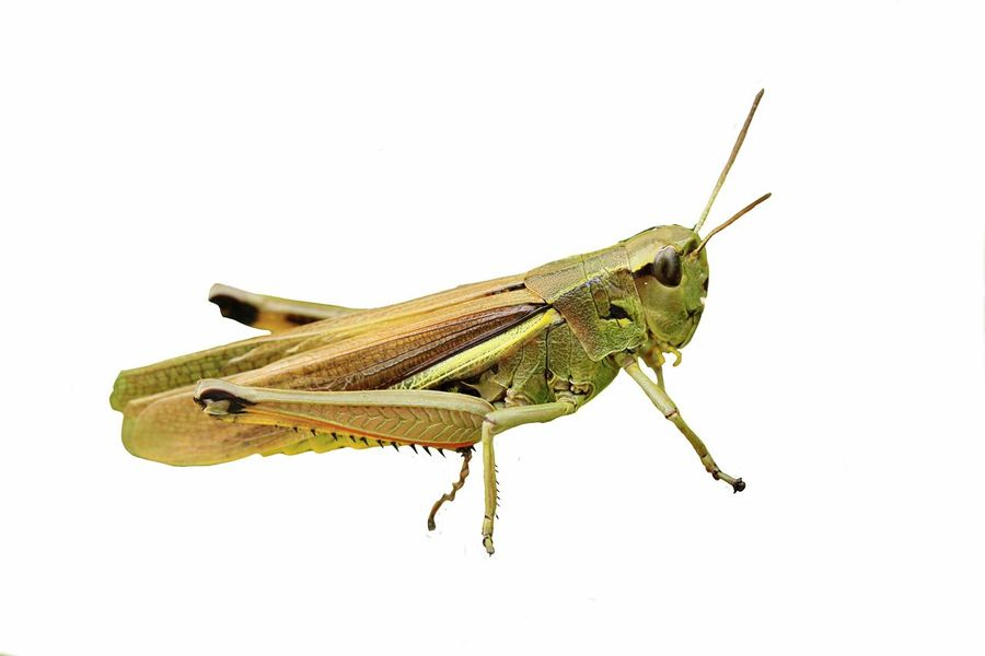 Grasshopper Graßhüpfer Grasshoppers Insect Tier Freigestellt Animals Animal Macro Macro_collection Makro Photography EyeEm Best Shots EyeEm Nature Lover