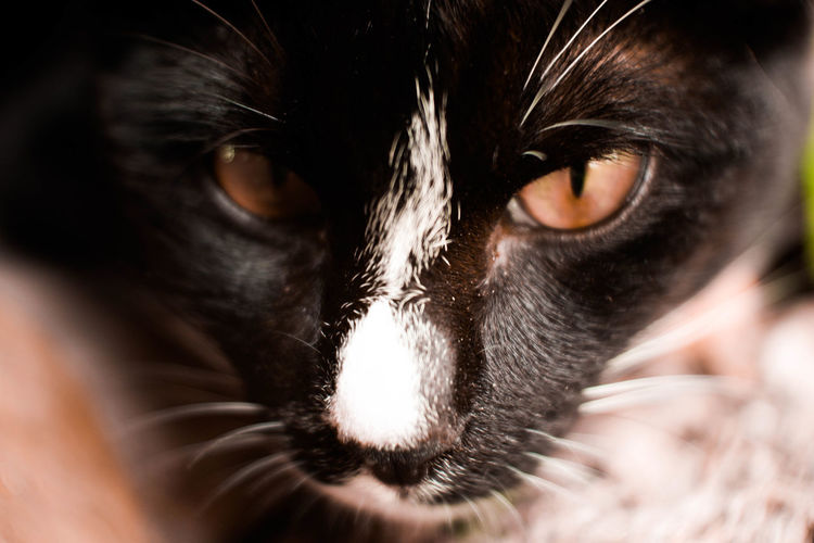 Selective Focus Animal Eye Whisker Aggression  Vertebrate Indoors  Looking At Camera Domestic Cat Animal Head  Animal Body Part Domestic Animals Domestic Animal Themes Animal One Animal Eye Cat No People Portrait Mammal Pets Close-up