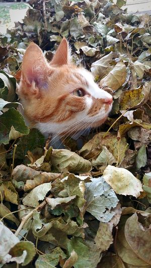 Autumn Cat Cat Lovers Autumn Autumn Leafs Outdoor Photography Outdoors Nature Beauty In Nature Autumn Leaves Cat Photography Cat Autumn 2016 Cat Hiding Leaf Funny Cat Ginger Cat