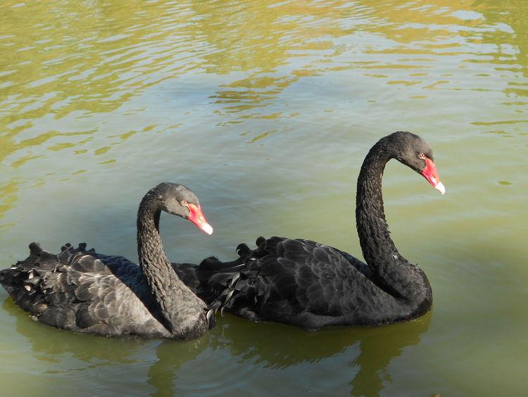 Two Is Better Than One BlackSwan Black Swan Nature Blackswans Black Swans