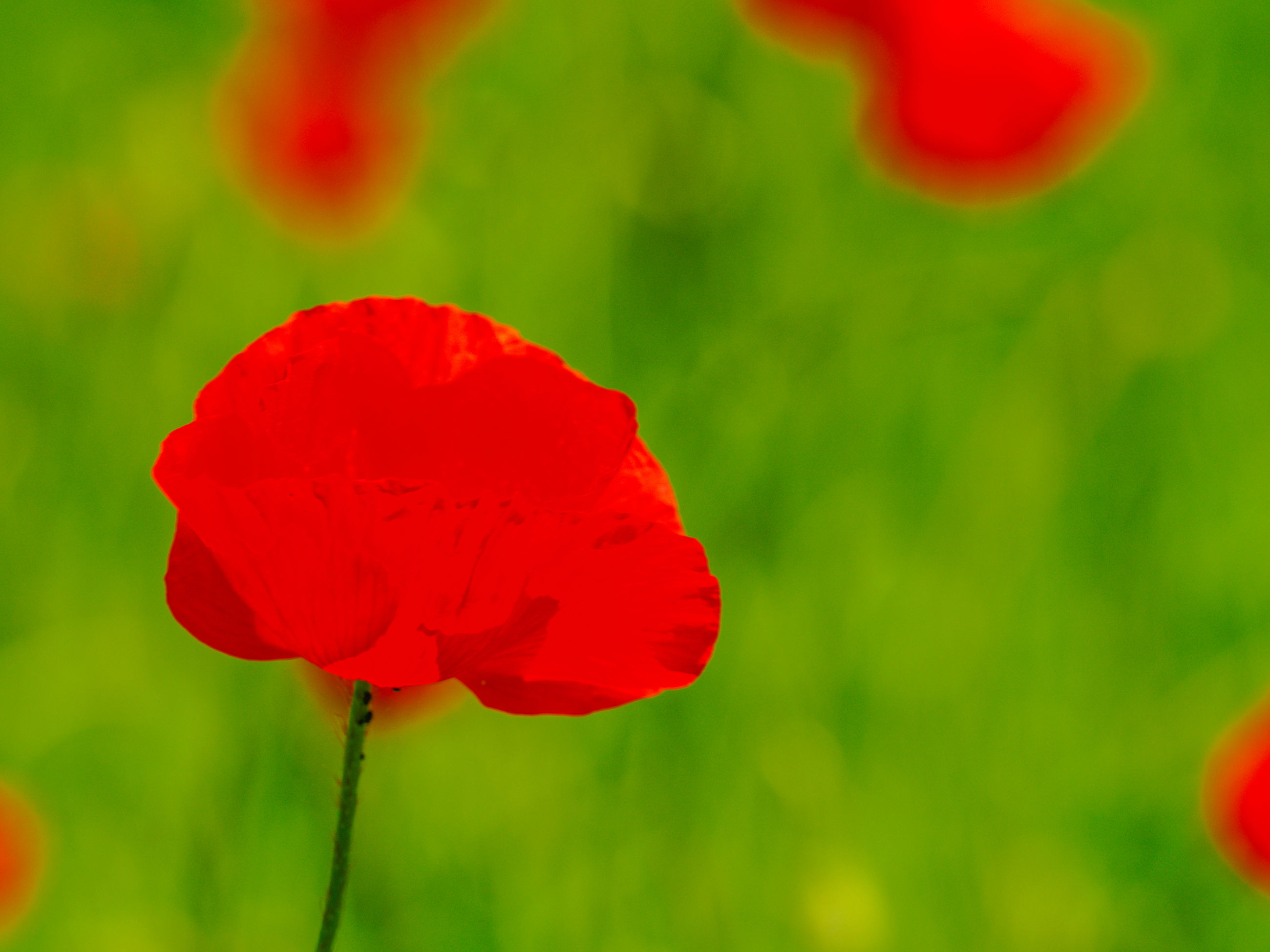 poppy, plant, flower, red, flowering plant, freshness, beauty in nature, close-up, petal, fragility, nature, flower head, inflorescence, macro photography, meadow, no people, growth, field, focus on foreground, wildflower, outdoors, plant stem, green, vibrant color, day, springtime