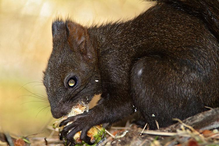 Eurasian red squirrel eating the pine cone, brijuni national park