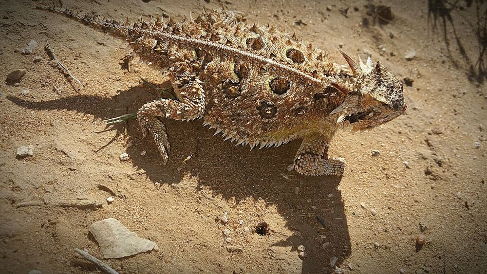 Crawly Critters Horny Toad Lizard