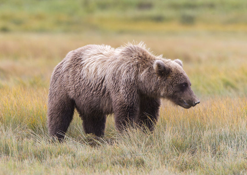 Bear Animal Themes Animals In The Wild Bear Beauty In Nature Day Elephant Field Grass Grizzly Bear Landscape Mammal Nature No People One Animal Outdoors