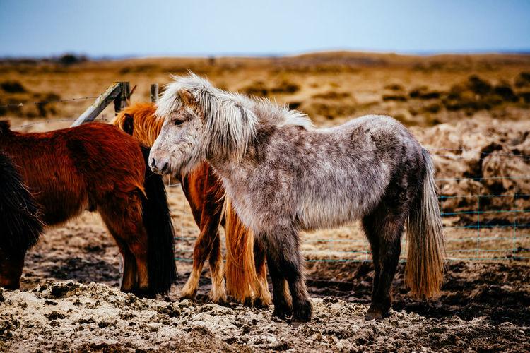 Icelandic horses standing on field