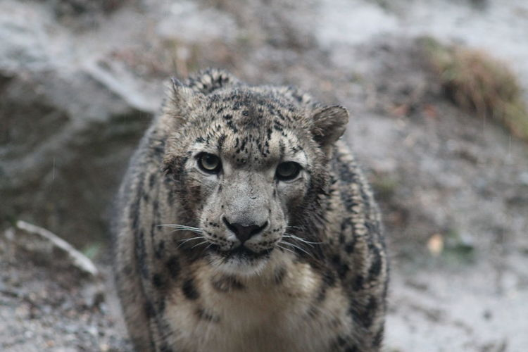 Snowleopard looking in cam