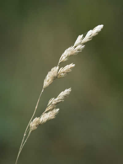 Close-Up Of Crops Growing On Plant