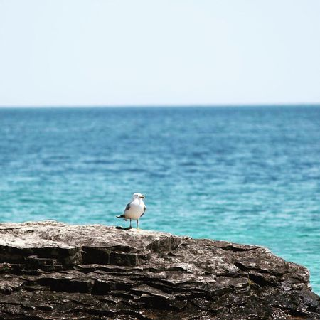 Sea Horizon Over Water Water Clear Sky Nature Rock - Object Sky One Animal Perching Bird Beauty In Nature Scenics Outdoors Day Tranquility Animals In The Wild No People Animal Themes Animal Wildlife Blue Turqoise Seagull Georgian Bay Bruce Peninsula Flowerpotisland