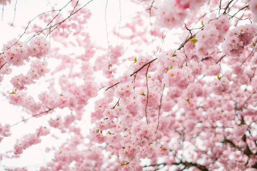 Springtime Spring Summer Summertime Pink Color Flower Plant Flowering Plant Blossom Growth Tree Day Backgrounds Vulnerability  Beauty In Nature Springtime Freshness Cherry Blossom No People Fragility Nature Branch Cherry Tree Full Frame