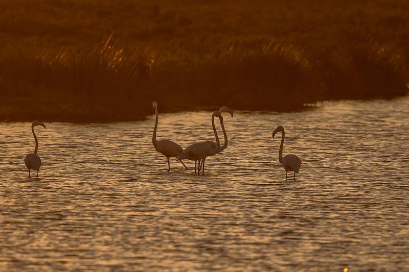 Flamingos in lake at sunset