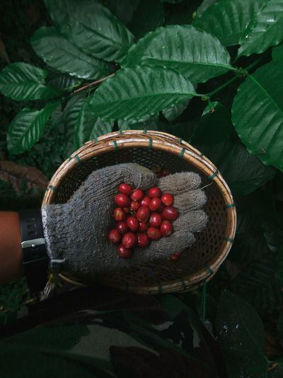 Cropped hand holding raw coffee beans