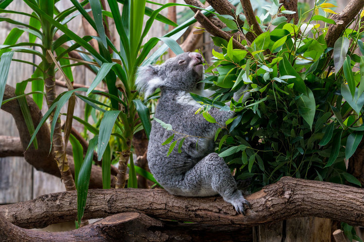 Koala sitting on branch