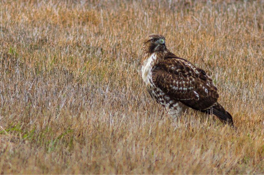EyeEm Selects Eagle - Bird Bird Photography Bird Of Prey Bird Animal Wildlife Animals In The Wild One Animal Grass Nature No People Animal Themes Outdoors Day