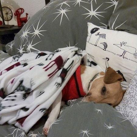 Il fait trop froid dehors. Cocooning ! ☔🐾💕⛄❄❄ Cocooning Happynewyear 2016 Bonneannee Jackrussel Hug Love Dog Instacute Instalove Ilovemydog Iloveyou Jrt Happynewyear2016 Lovedogs Dogstagram Doggy
