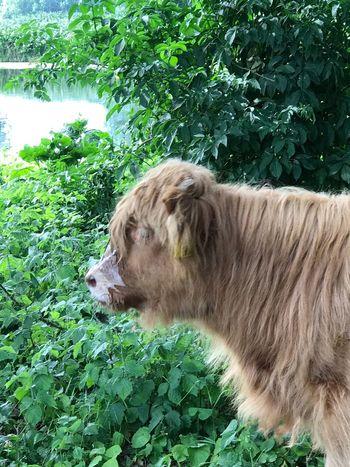Highlandercow HighlandCows Highland Cows Schotse Hooglanders One Animal Brienenoordeiland