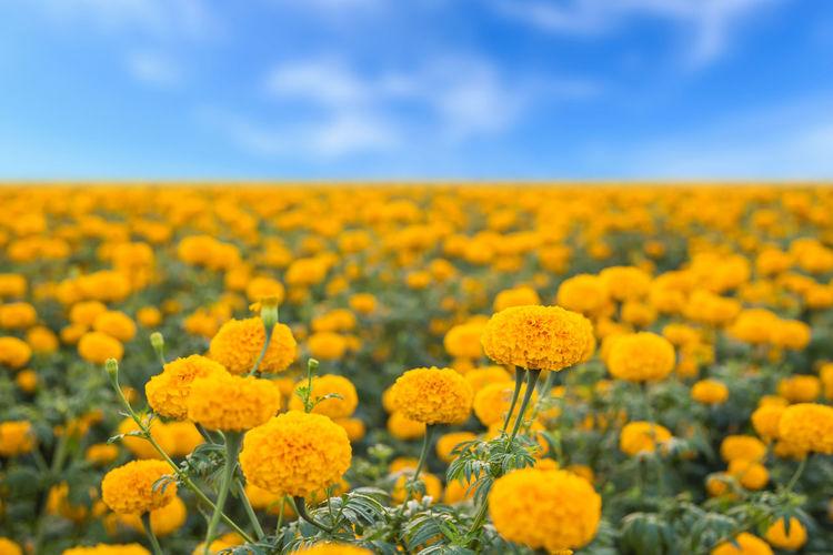 Fresh yellow flowers in field against sky