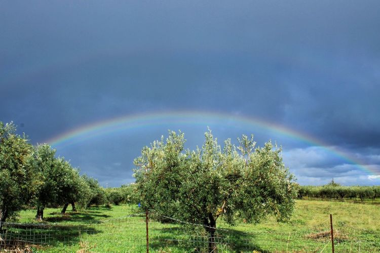 Rainbow Tree Agriculture Spectrum Multi Colored Double Rainbow Outdoors Scenics Day Sky Rural Scene Landscape No People Cloud - Sky Nature Dramatic Sky Beauty In Nature Growth Field Tranquility