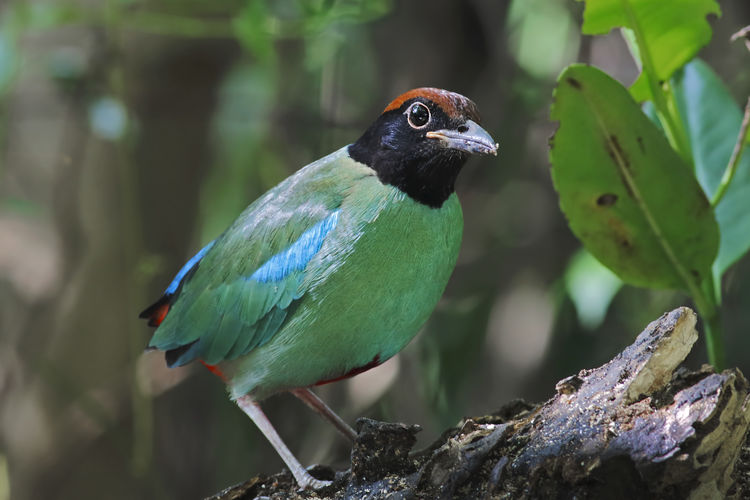 Hooded Pitta Pitta sordida Birds of Thailand Animal Animal Themes Vertebrate Animal Wildlife Bird One Animal Animals In The Wild Perching Focus On Foreground Close-up Day No People Nature Plant Tree Green Color Plant Part Beauty In Nature Outdoors Branch Beak Hooded Pitta